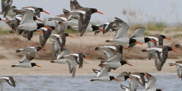 pm oystercatchers